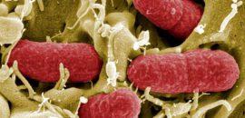 О чем свидетельствует появление кишечной палочки в моче